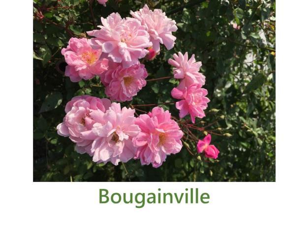 育出:1822法國,粉紫色,重瓣杯狀,中香