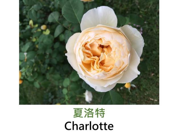 現代英國灌木玫瑰,育出:1994英國,鮮黃轉乳黃色,圓瓣杯形,強香