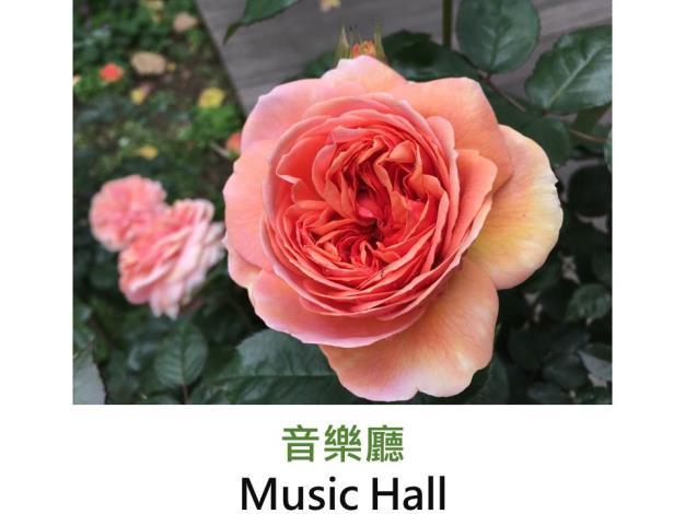 豐花灌木玫瑰.育出:2005德國.橙粉紅色.四分簇生型.濃香