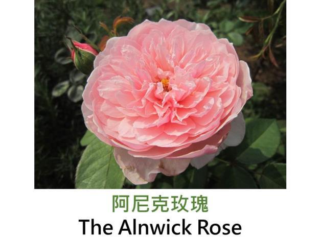 現代英國灌木玫瑰,育出:2001英國,粉色,重瓣簇生杯狀,古典玫瑰淡香