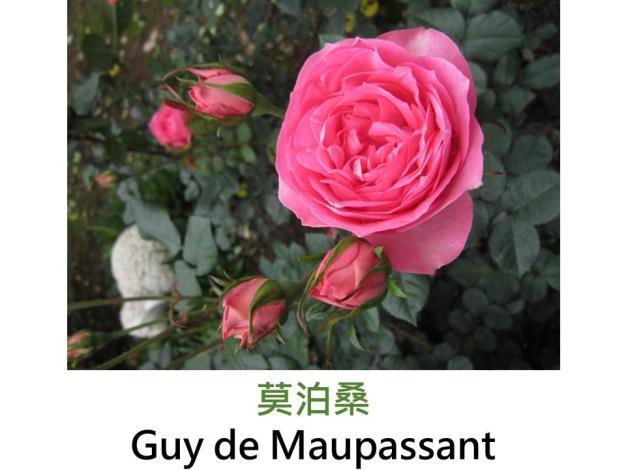 中輪豐花玫瑰,育出:1995法國,螢光粉色,重瓣古典杯形,果香