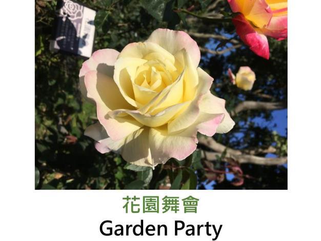 現代大花雜交茶香玫瑰,育出:1959美國,乳白,瓣端粉紅帶橘色,半劍瓣高心形,強香