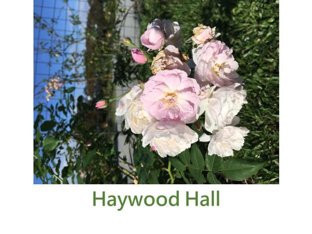 攀緣玫瑰,育出:2007美國,淺粉色,微香