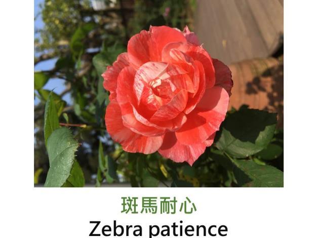 育出:日本,橙黃條紋,微香