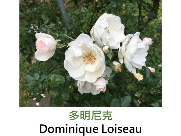 中輪豐花玫瑰,育出:2003法國,白色,半重瓣平開形,中香