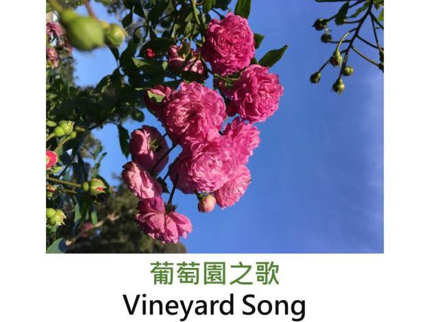 半蔓灌木迷你玫瑰,育出:1999美國,粉至淡紫色,圓瓣,強香