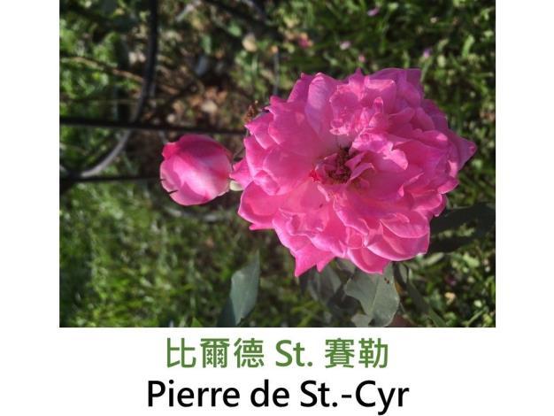 育出:1838法國.粉紅色.平開型.濃香