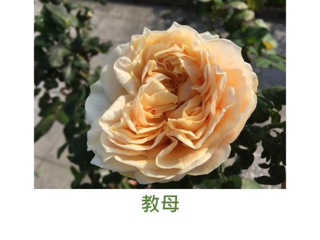 育出:2014日本,心淺橙至奶油色,瓣緣淺綠,微香