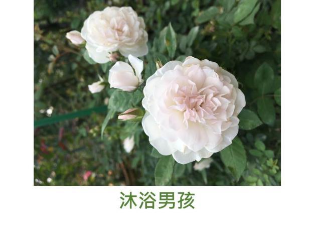 迷你玫瑰,白色