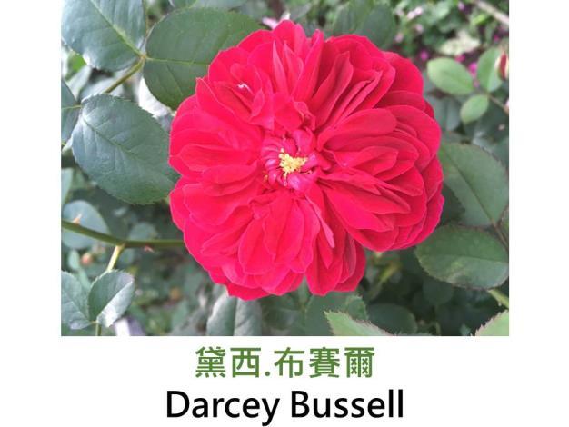 現代英國灌木玫瑰,育出:2008英國,豔紅,重瓣古典花形,淡香