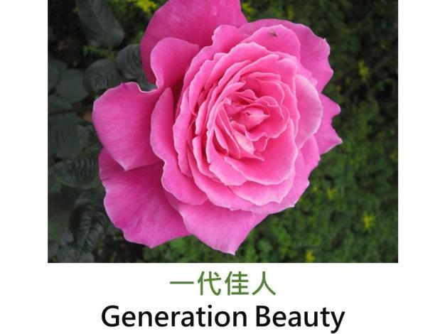 現代豐花矮叢玫瑰,育出 : 2005台灣,深桃紅色,圓瓣平開,強香