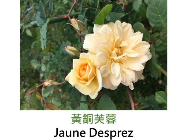 攀緣玫瑰,育出:1830法國,杏黃色,四分簇生杯形,果香