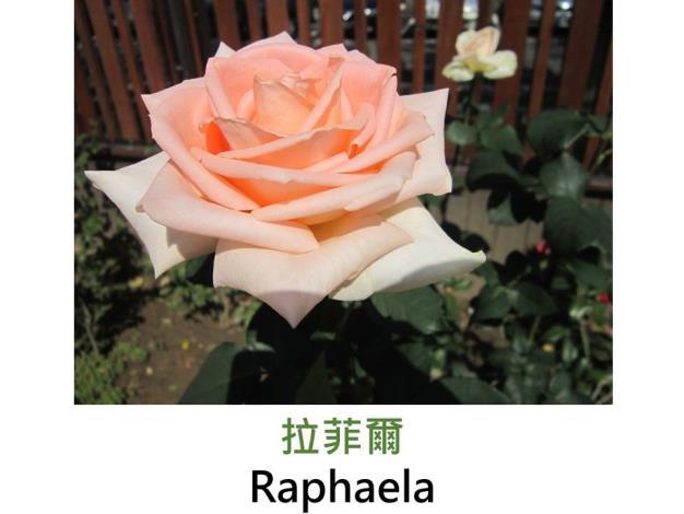 現代大花雜交茶香玫瑰,育出:1993德國,濃橙色,圓瓣高心形,無香