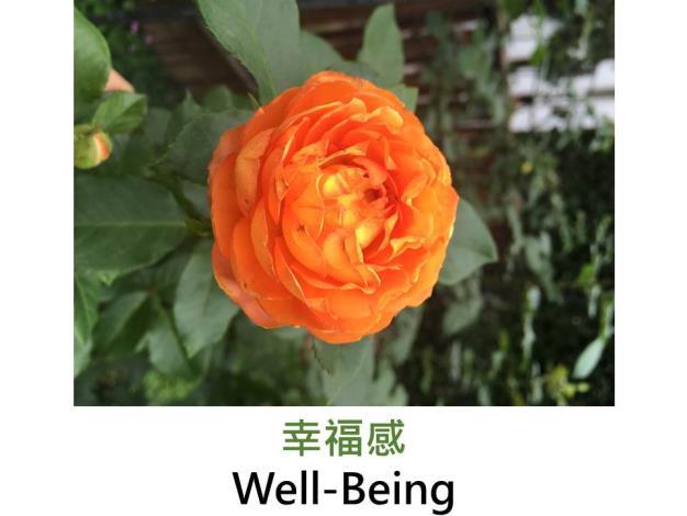豐花灌木玫瑰,黃色,杯狀,濃香