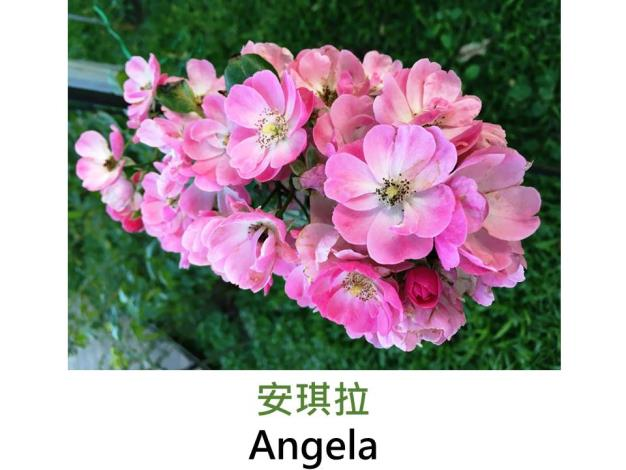 現代豐花攀緣玫瑰,育出:1957德國,深粉色,重瓣平開,微香