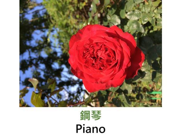 育出:2007德國,紅色,杯狀花形,果香