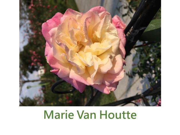 育出:1871法國,乳白色粉邊,高心型球狀,中香