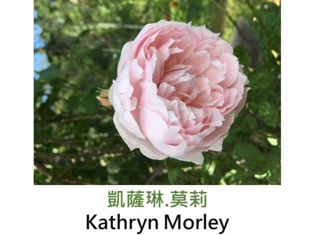現代英國灌木玫瑰,育出:1990英國,淺粉色系,淡香