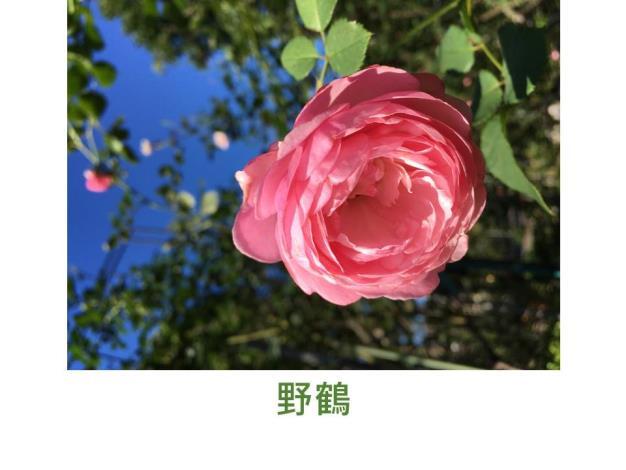 大輪,粉紅色,花瓣鬆散,圓瓣杯形