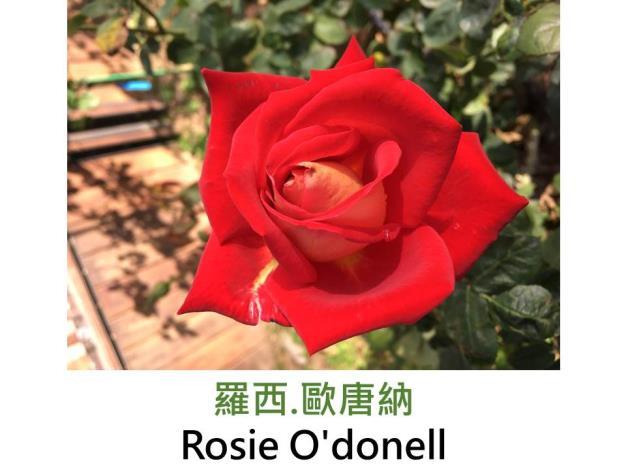 現代大花雜交茶香玫瑰,育出:1998美國,面紅背白,高心杯狀花形,淡香