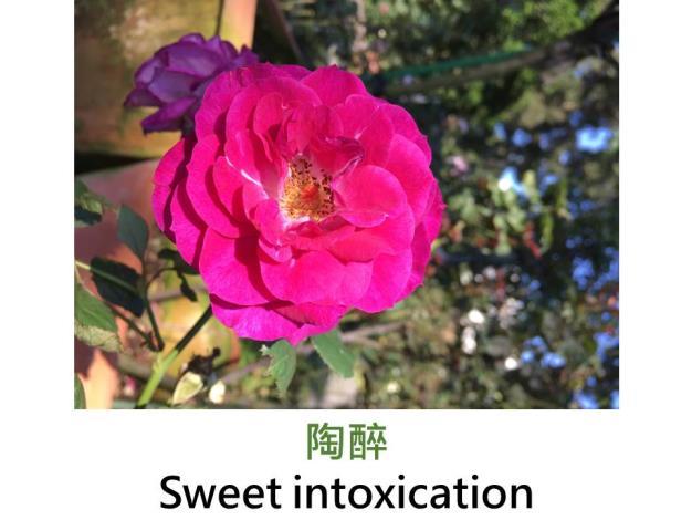 中輪豐花玫瑰,育出:2008美國,紫色,強香
