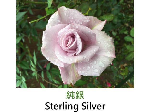 現代大花雜交茶香玫瑰,育出:1957美國,淺紫色,圓瓣高心形,強香