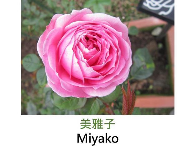 中輪豐花玫瑰,育出:2007日本,粉紅色,重瓣古典杯形,微香