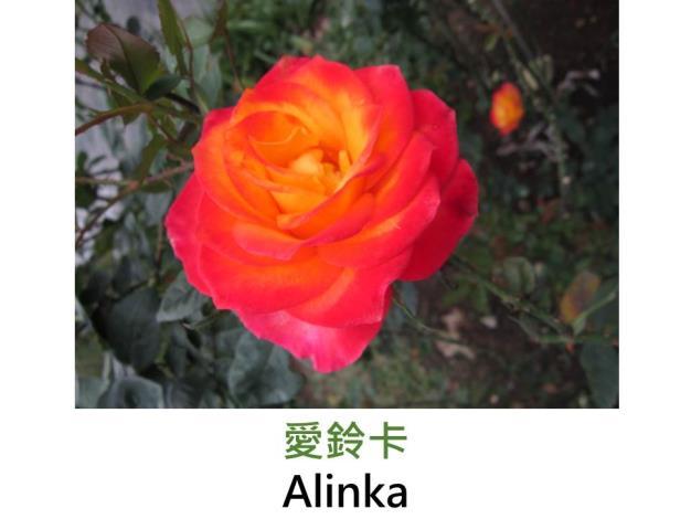現代大花雜交茶香玫瑰,育出:1985德國,橘紅色,半劍瓣高心形,淡香