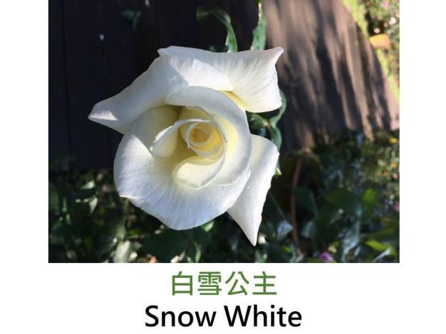 現代大花雜交茶香玫瑰,育出:1987英國,白花,高心劍瓣花形,微香,刺少