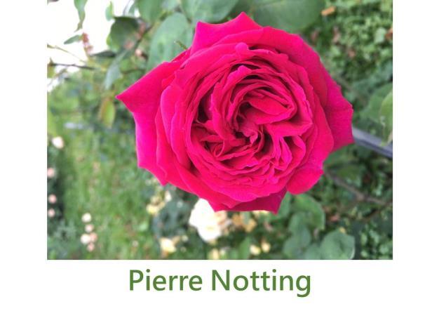 育出:1863法國,深紅色,重瓣大花,杯狀球形,濃香