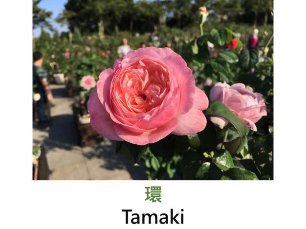 育出:2014日本.粉紅色.有時花瓣會產生部分較深粉紅的花色
