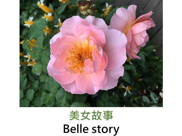 現代英國灌木玫瑰,育出:1984英國,杏粉色,半重瓣平開形,中香
