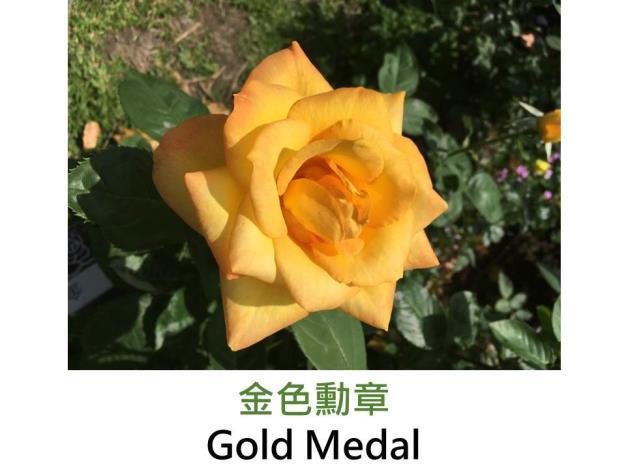 現代大花雜交茶香玫瑰,育出:1982美國,金黃鑲銅色,重瓣高心杯狀花形,茶香