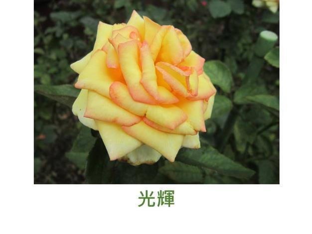 現代雜交茶香玫瑰,育出:台灣,黃底,橘紅沁邊,重瓣高心杯狀花形,微香