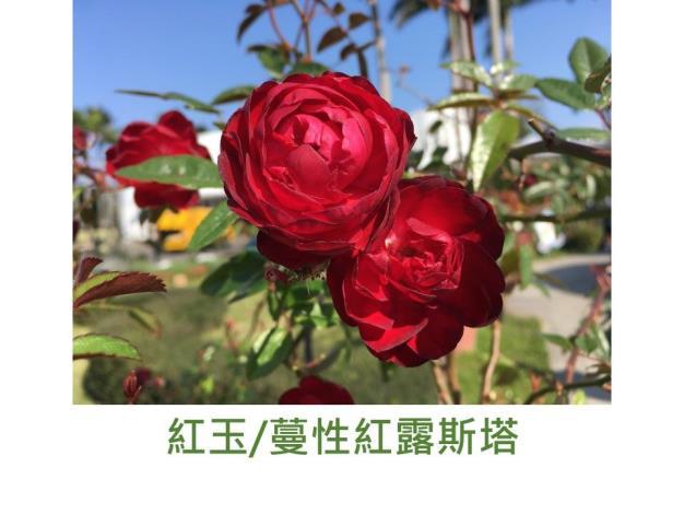 蔓性迷你玫瑰.育出:2011日本.紅色.半重瓣(露斯塔芽變)