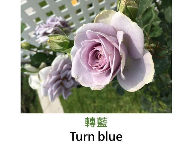 中輪豐花玫瑰,育出:2006日本,藍紫色,微香