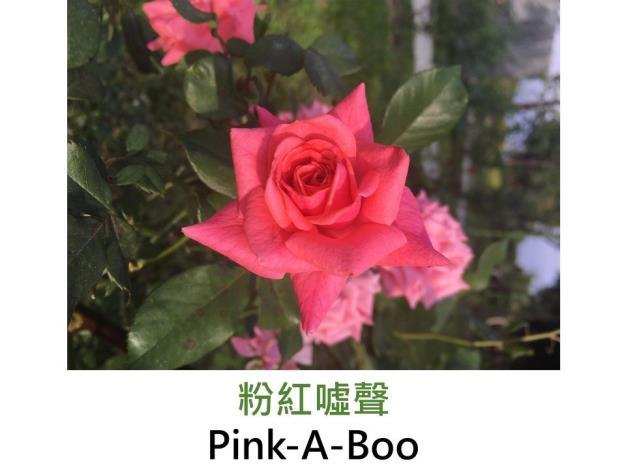 豐花玫瑰.育出:1961美國.粉紅色.濃香.少刺