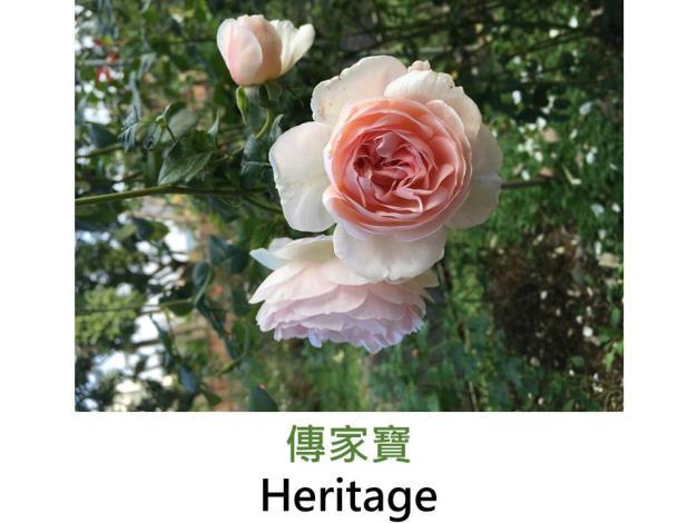現代英國灌木玫瑰,育出:1989英國,淺粉紅重瓣,蕊心鮮黃,彩球花型,檸檬香
