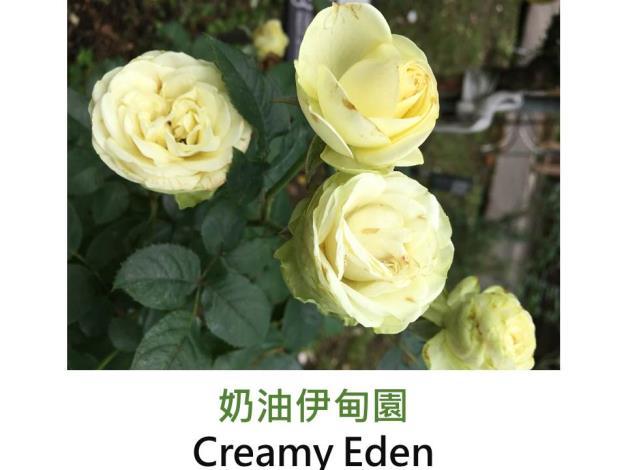 中輪豐花玫瑰,育出:2005法國,奶油黃綠色,微香