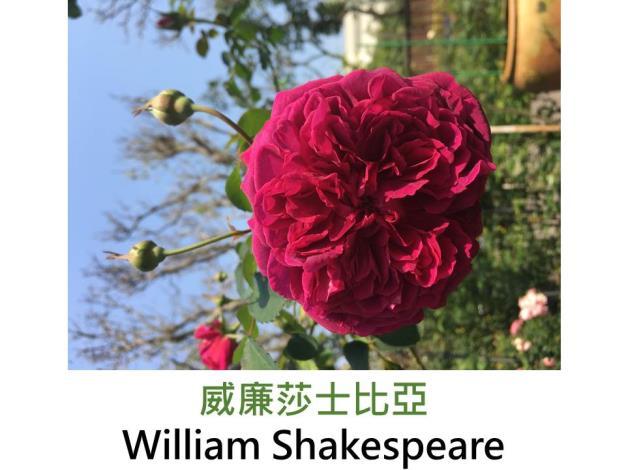 現代英國灌木玫瑰,育出:2000英國,黑紅色,重瓣古典杯形,強香