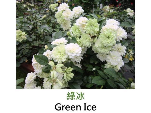 迷你玫瑰,育出:1971美國,白色轉綠,圓瓣平開形,微香