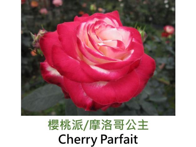現代豐花矮叢玫瑰,育出:2000法國,邊緣紅色,心黃白色,半劍瓣高心形,微香