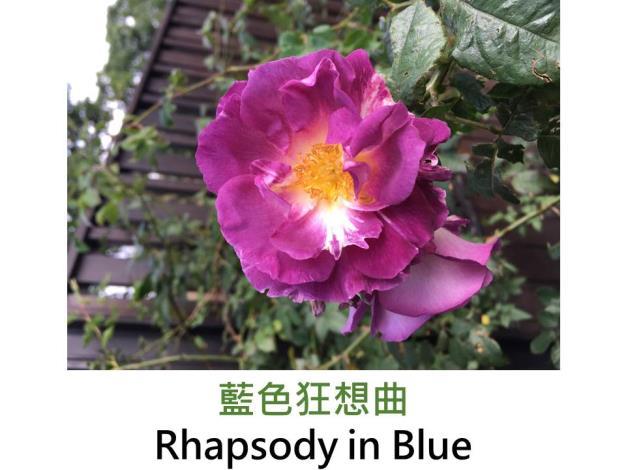 現代灌木玫瑰,育出:1999英國,桃紫轉藍紫色,圓瓣平開形,微香