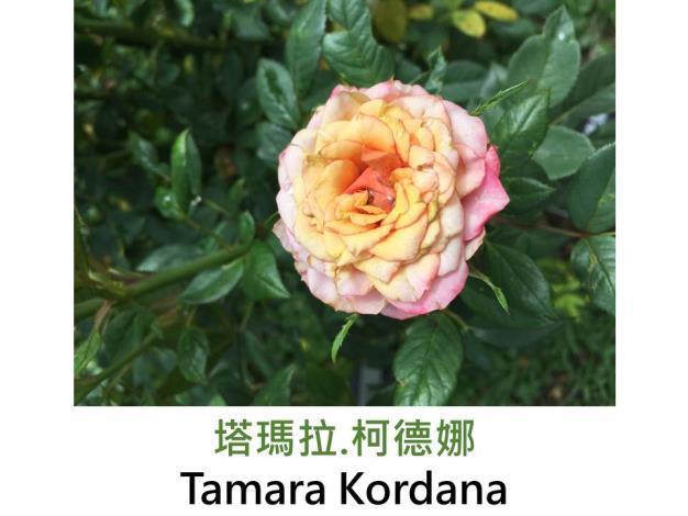 迷你玫瑰,育出:2010前,德國,奶油粉紅色