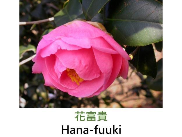 花富貴Hana-fuuki.JPG