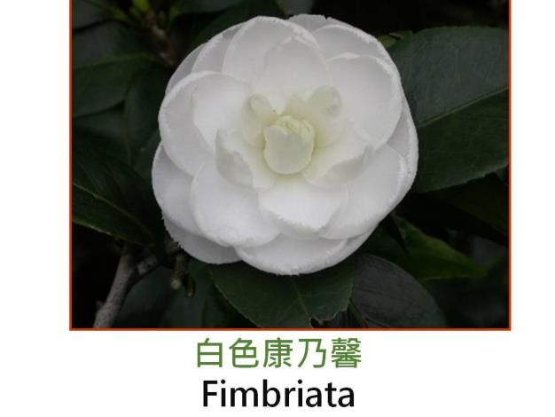 白色康乃馨Fimbriata.JPG