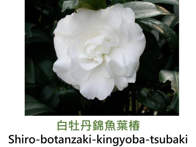 白牡丹錦魚葉椿Shiro-botanzaki-kingyoba-tsubaki.JPG