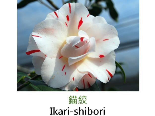 錨絞Ikari-shibori.JPG