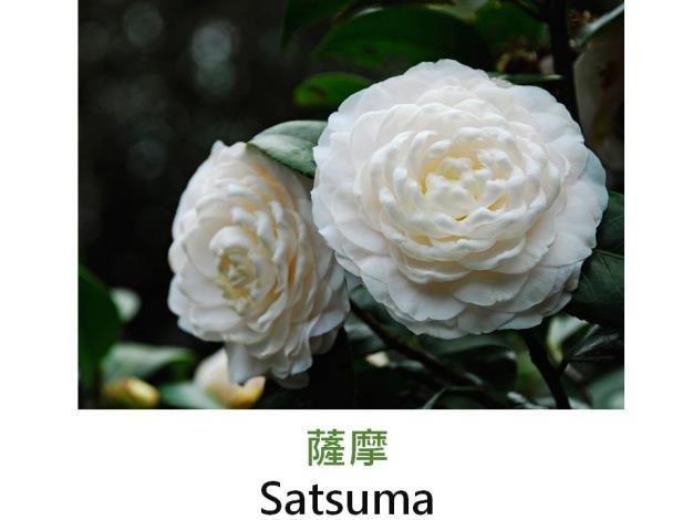薩摩Satsuma.JPG