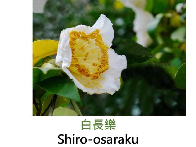 白長樂Shiro-osaraku.JPG